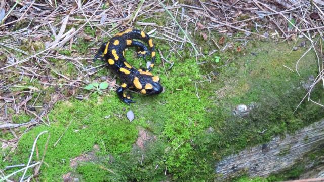 salamandra-pous_castellbisbal_20150221-2