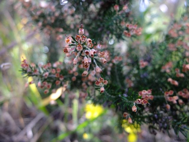 Arbust florit