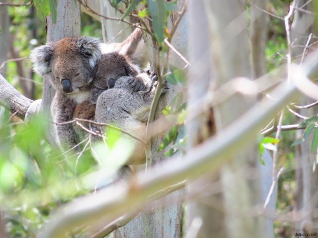 koala + baby 2