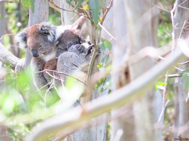 koala + baby 3