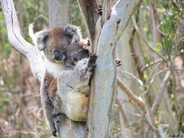 koala + baby 4