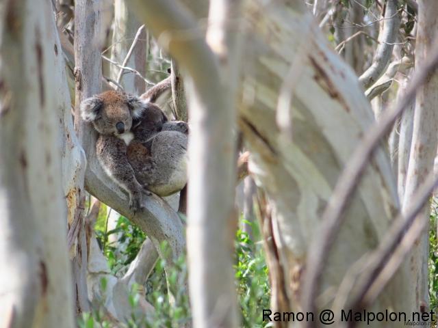 koala + baby 1