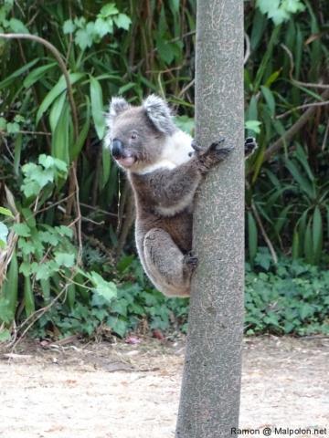 thirsty_koala_morialta_5