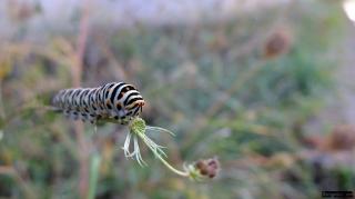 larva_papallona_rei