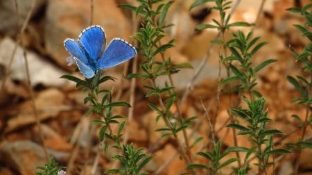 8_papallona_blava