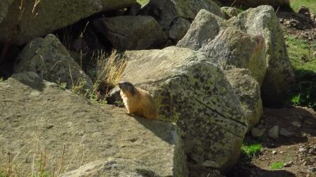 1_marmota
