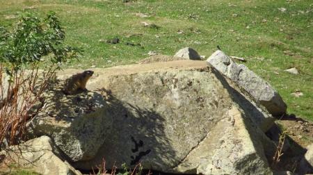 3_marmota