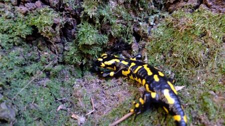 salamandra montserrat 1