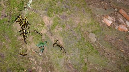 salamandra montserrat 2