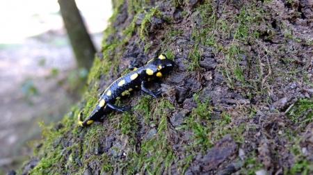 salamandra motserrat 4