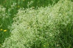 blanc-verd