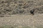 Trencalós (Gypaetus barbatus) - Tamúrcia