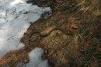 Vipera aspis francisciredi - Molveno, Italia -- Trobada amb les últimes neus als Alps de Molveno, els Dolomites, la subespècie de la Vipera aspis media 60 cm de llargada i molt activa i agressiva. Amb un patró de colors ben diferent de l'escurçó pirinenc.