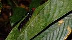 larva desconeguda 3