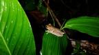 Chontachaka amphibians 5