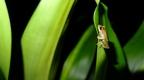 Chontachaka amphibians 16