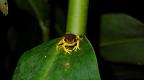 Chontachaka amphibians 21