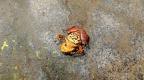Chontachaka amphibians 35
