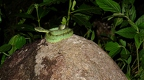 Bothriopsis bilineatta-3